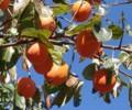 [花][柿]柿