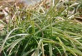 [花][むすかり]むすかりの葉