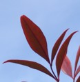 [花][南天]南天の葉