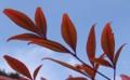 [花][南天]南天葉
