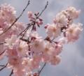 [名][桜]桜