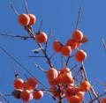 [実][柿]柿