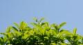 [葉][金木犀]金木犀葉
