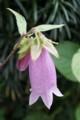 [花][ほたるぶくろ]ほたるぶくろ