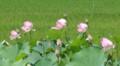 [花][はす]はす