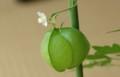 [花][実][ふうせんかずら]ふうせんかずら