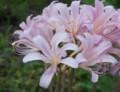 [花][夏水仙]夏水仙