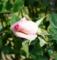 [花][ばら]
