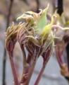 [花][ぼたん]ぼたん芽