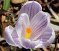 [花][クロッカス]クロッカス