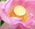 [花][はす]はすの花芯