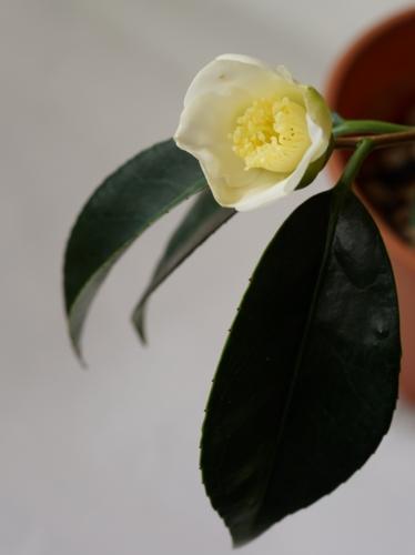 挿し木をした白椿