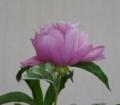 [花][芍薬]芍薬