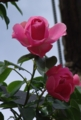 [花][ばら][背景有]ばら