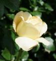 [花][ばら][紋]ばら