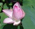 [花][はす]はす咲き始め
