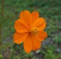 [花][黄花こすもす]黄花こすもすつぼみ
