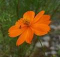 [花][黄花こすもす]黄花こすもす