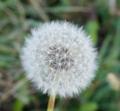 [花][たんぽぽ]たんぽぽ