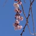 [花][桜][冬桜]冬桜