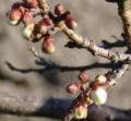 [花][梅]梅つぼみ
