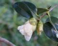 [花][白椿]霜にやられた白椿