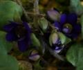 [花][雪割草]雪割草