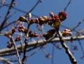[花][桜]桜つぼみ