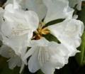 [花][しゃくなげ]白しゃくなげ