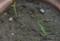 ゆうすげの芽