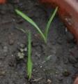 [花][ゆうすげ]ゆうすげの芽