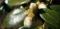 白椿つぼみ