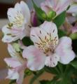 [花][アルストロメリア]アルストロメリア