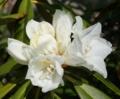 [花][しゃくなげ]白しゃくなげ咲き始め