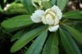 [花][しゃくなげ]白しゃくなげつぼみ