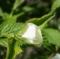 白やまぶき咲き始め