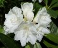 [花][白しゃくなげ]白しゃくなげ