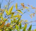 [葉][南天]南天の葉