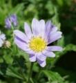 [花][都わすれ]都わすれ