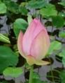 [花][はす]はすつぼみ