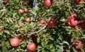 [実][りんご]りんご