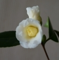 [花][白椿]白椿
