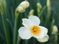 [花][水仙]日本水仙