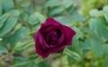 [花][ぼたん]ぼたん咲き始め