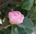 [花][乙女椿]乙女椿