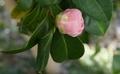 [花][乙女椿]乙女椿咲き始め