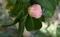 乙女椿咲き始め
