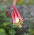 [花][おだまき]カナダおだまき