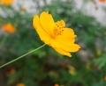 [花][こすもす]こすもす