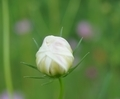 [花][こすもす]こすもすつぼみ